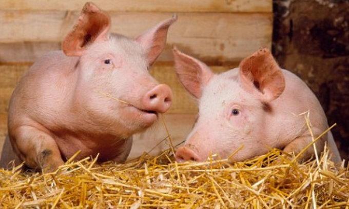 Роль современного оборудования на свиноферме