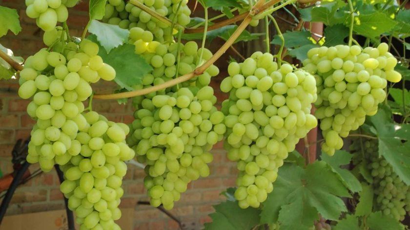 виноградные саженцы в Украине