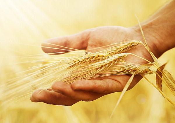 как определить влажность зерна