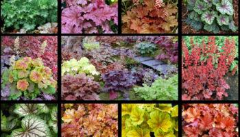 Гейхера — горная красавица в вашем палисаднике